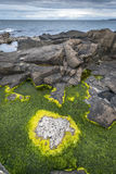 Yellow algae on rocky Nort Irish coastline Royalty Free Stock Photos