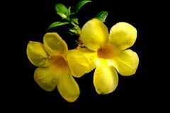 Yellow Allamanda Royalty Free Stock Images
