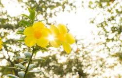 Yellow allamanda flower Stock Photography