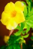 Yellow allamanda Stock Photography