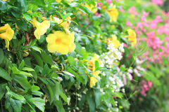 Yellow Allamanda Flower Stock Images