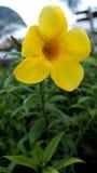 Yellow  Allamanda Flower Stock Images
