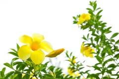 Yellow allamanda flower Royalty Free Stock Image
