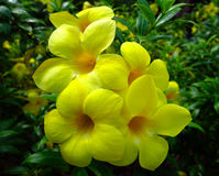 Yellow allamanda flowers Royalty Free Stock Photos