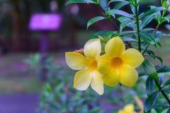 Yellow  allamanda flowers Stock Photos