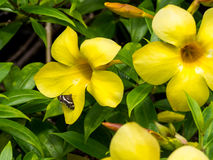 Yellow Allamanda Golden Trumpet Flower and Skipper at Intercontinental Resort and Spa Hotel in Papeete, Tahiti, French Polynesia stock photo