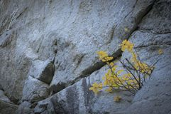 Yellow alpine flowers grown on rock wall. Small bush of yellow alpine flowers growing up on granite mountain wall stock photo