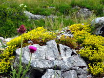 Yellow alpine flowers on a rock Royalty Free Stock Photography