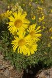 Yellow Alpine Sunflower Stock Photography