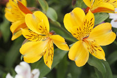 Yellow alstroemeria Stock Photography