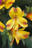 Yellow alstroemeria. Beautiful yellow with red alstroemeria stock image