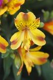 Yellow alstroemeria. Beautiful yellow with red  alstroemeria Stock Image