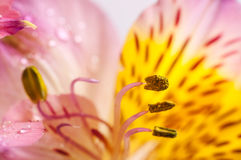 Yellow Alstroemeria closeup. Alstroemeria flower with yellow stamens close up on background Royalty Free Stock Photos
