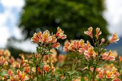 Yellow Alstroemeria flower, Peruvian lily stock photography