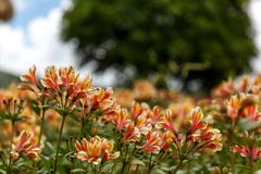 Yellow Alstroemeria flower, Peruvian lily. Or lily of the Incas royalty free stock image