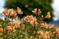 Yellow Alstroemeria flower, Peruvian lily. Or lily of the Incas stock photos