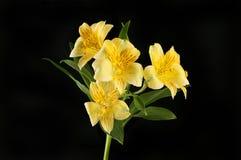 Yellow alstroemeria flowers against black stock photo
