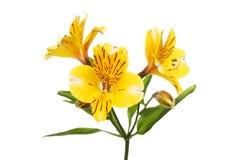 Yellow Alstroemeria flowers Royalty Free Stock Photo