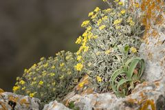 A yellow alyssum on the island of Cres. A yellow alyssum Alysum saxatile on the island of Cres Royalty Free Stock Images