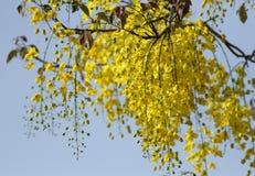 Yellow Amaltass flowers Stock Photo