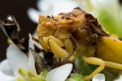 Yellow Ambush Bug Eats Small Bee on White Aster Stock Photography