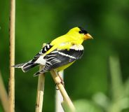 Yellow American Goldfinch Perched On Stem stock photo