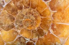 Yellow ammonite spiral closeup Stock Photography