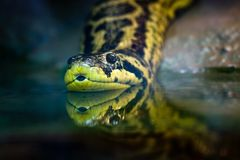 Yellow anaconda. Native to South American swamps and marshes