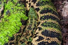 Yellow Anaconda Snake. Yellow anaconda Eunectes notaeus predatory constrictor snake covered wth duckweed, boa family, class Reptilia, order Squamata royalty free stock photo