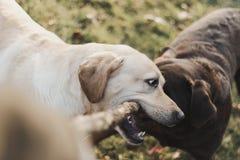 Free Yellow And Chocolate Labrador Retriever Sisters Playing Tug Of War Stock Photography - 114287242