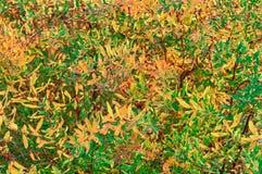 Yellow And Green Leaves Of Spiraea Shrub Stock Photo