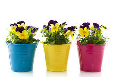 Yellow And Purple Violets Royalty Free Stock Photography