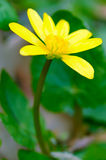 Yellow anemone flower Royalty Free Stock Photo