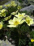 Yellow anemones in the French Alps. Some yellow anemones growing among the rocks in the French Alps Stock Photos