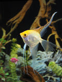 Yellow Angel Fish in an Aquarium Stock Image
