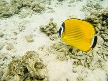 Yellow angel fish underwater. Siam gulf, Thailand Royalty Free Stock Photos