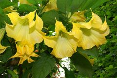 Yellow Angel trumpet Royalty Free Stock Photography