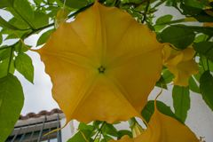 Yellow angel trumpet flower in full bloom Stock Images
