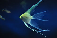 Yellow angelfish Stock Image