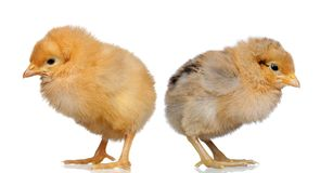 Yellow angry yellow chickens. Isolated on a white background Stock Photo