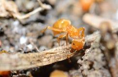 Yellow ant Stock Image