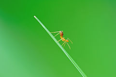 Yellow ant on leaf. Yellow ant dancing on the leaf royalty free stock photography