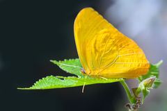 Yellow anteos cloride butterfly Royalty Free Stock Photo
