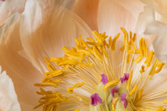Yellow anther peony flower macro still Stock Photography