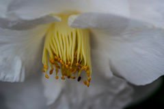 Yellow Anthers, White Camellia. White Camellia flower petals, yellow anthers Stock Photos