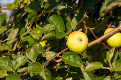Yellow apple on the branch in the green foliage Stock Photo