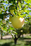 Yellow Apple. Crisp Apple on the tree ripe for the picking Royalty Free Stock Images