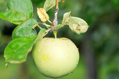 Yellow apple on green sprig close up Royalty Free Stock Images