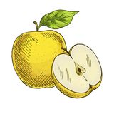 Yellow apple with leaf, half of apple. Full color realistic sketch Stock Photos