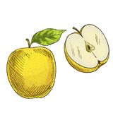 Yellow apple with leaf, half of apple. Full color realistic sketch Stock Photography